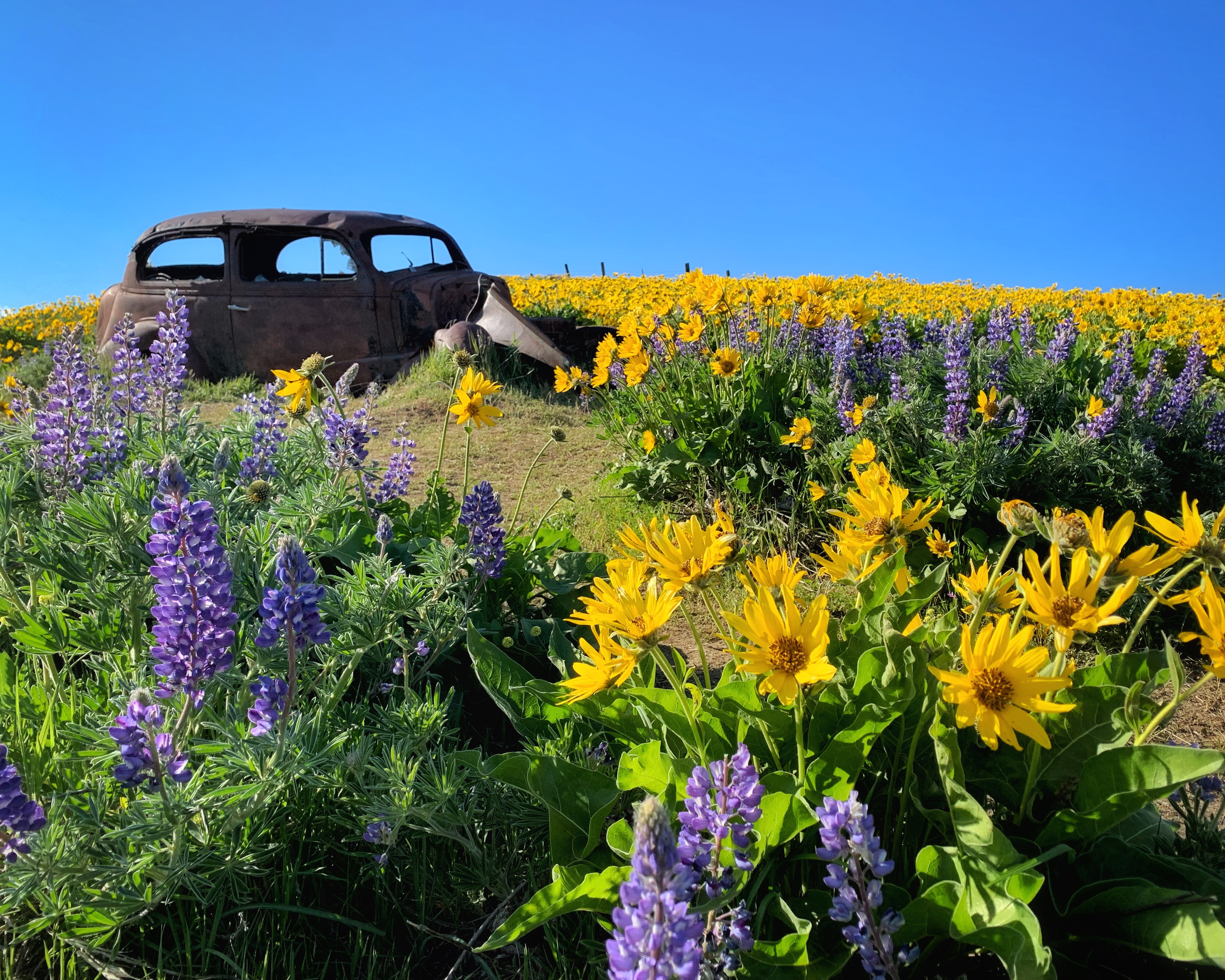 old rusted car in field full of yellow and purple wildflowers