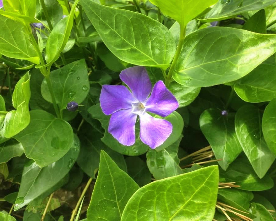 purple wildflower surrounded by green leaves