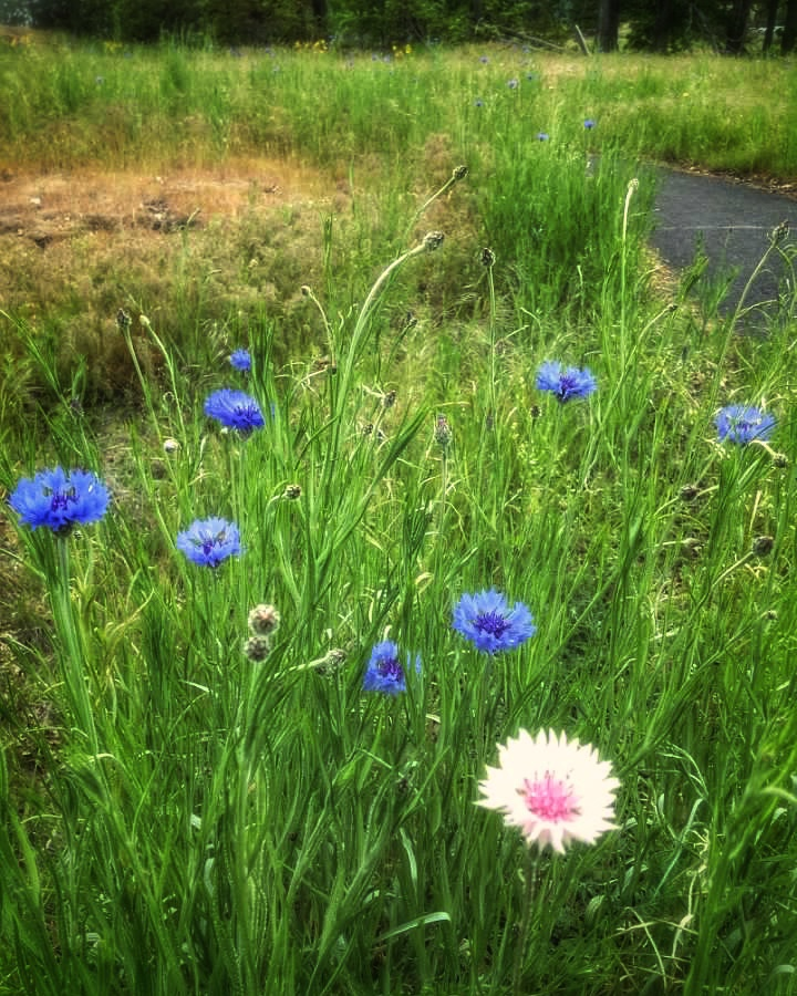 tiny blue and pink wildflowers