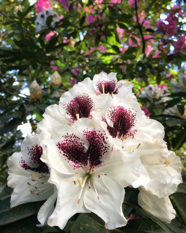 white and purple rhododendron flowers