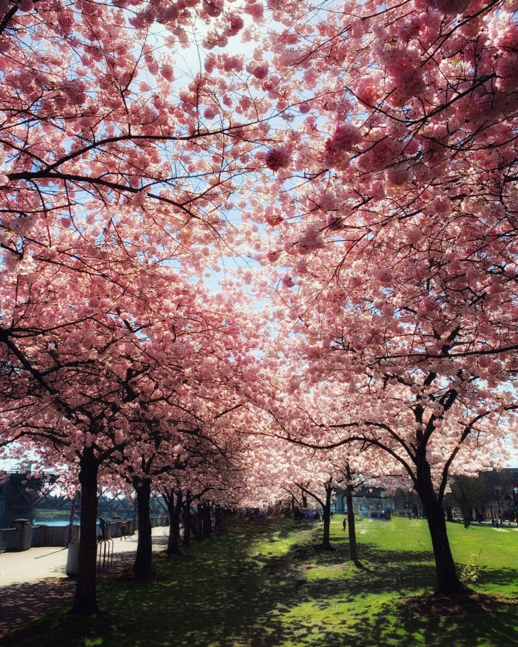 pink cherry blossom trees in bloom