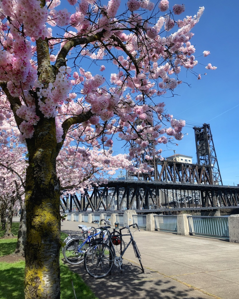 pink cherry blossom trees, bicycles and bridge