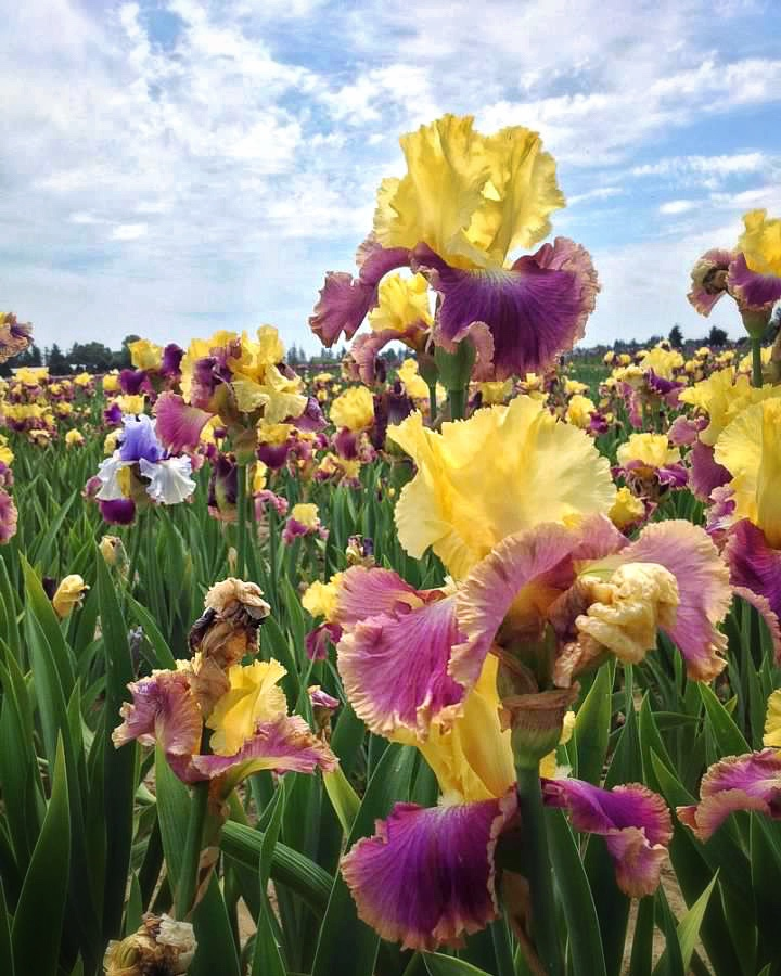 field of yellow and purple iris flowers